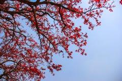 桃红色树在印度 库存图片