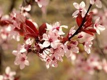 桃红色树在春天-绽放细节  免版税库存图片