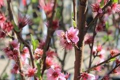 桃红色树开花 图库摄影