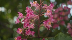 桃红色栗子分支与花特写镜头的在一个春日