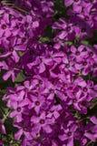 桃红色栗色Oxalis articulata花 库存照片