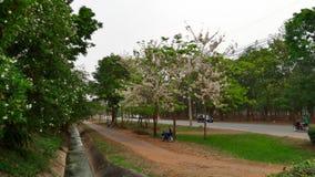 桃红色桂皮树在公园开花开花 免版税库存图片