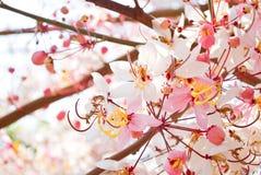 桃红色桂皮树在泰国 免版税库存图片