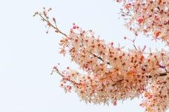 桃红色桂皮,桃红色阵雨 库存图片