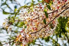 桃红色桂皮,桃红色阵雨 图库摄影