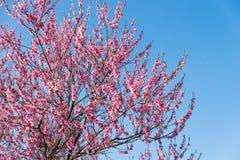 桃红色桃子开花在春天 库存图片