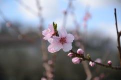 桃红色桃子花 免版税图库摄影