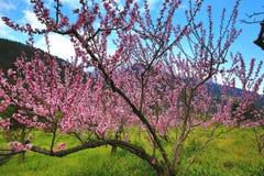 桃红色桃树美好的风景  库存图片