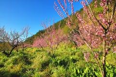 桃红色桃树美好的风景  免版税库存图片