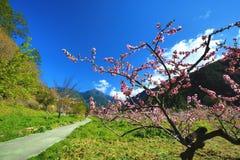 桃红色桃树美好的风景  库存照片