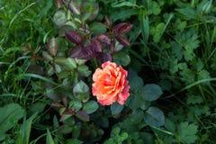 桃红色桔子在深绿叶子上升了 图库摄影
