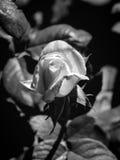 桃红色桔子照片在黑白绿色叶子的背景上升了 免版税库存照片