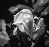 桃红色桔子照片在黑白绿色叶子的背景上升了 库存照片