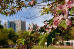 桃红色椋木树开花框架春天亚特兰大都市风景 免版税库存图片