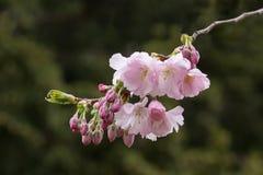 桃红色樱桃树分支有黑暗的背景 免版税库存照片