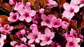 桃红色樱桃树开花开花 股票视频