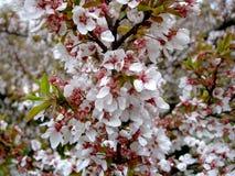 桃红色樱桃绽放在庭院里 免版税库存图片