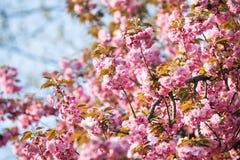 桃红色樱桃绽放 库存图片