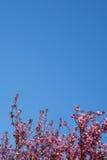 桃红色樱花和清楚的天空背景 库存照片