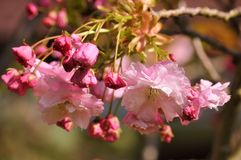 桃红色樱花在庭院里在春天 图库摄影