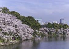 桃红色樱花在春天日本 免版税库存照片