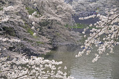 桃红色樱花在春天日本 免版税库存图片