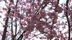 桃红色樱花在春天 股票录像