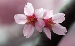 桃红色樱花对 库存图片