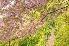 桃红色樱花日本春天风景  库存图片