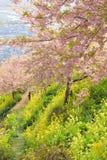 桃红色樱花日本春天风景  免版税库存图片