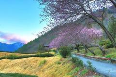 桃红色樱花树美好的风景  图库摄影