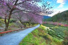 桃红色樱花树美好的风景  库存图片