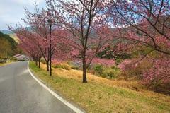 桃红色樱花树美好的风景  免版税库存图片