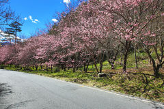 桃红色樱花树美好的风景  免版税库存照片