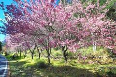 桃红色樱花树美好的风景  库存照片