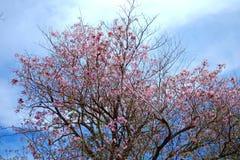 桃红色樱花节日 免版税库存照片