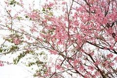 桃红色樱花花在冬天, Chaing Mai的泰国佐仓 免版税库存图片