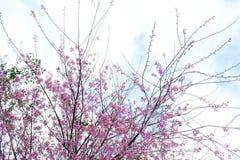 桃红色樱花花在冬天, Chaing Mai的泰国佐仓 免版税库存照片