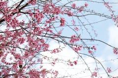 桃红色樱花花在冬天, Chaing Mai的泰国佐仓 库存照片