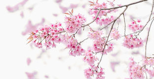 桃红色樱花,佐仓花 库存图片