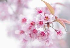 桃红色樱花,佐仓花 免版税库存照片