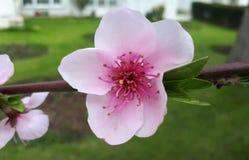 桃红色樱花,开花的分支,春天开花 库存图片