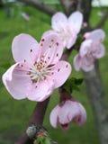 桃红色樱花,开花的分支,春天开花 免版税图库摄影