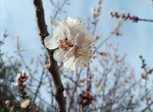 桃红色樱花,开花的分支,春天开花 免版税库存照片