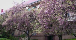 桃红色樱花 开花日本樱花在Uzhgorod,乌克兰 影视素材