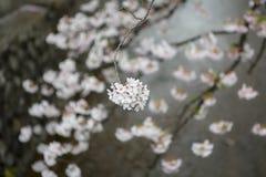桃红色樱花 免版税图库摄影