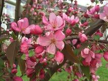 桃红色樱花 免版税库存图片