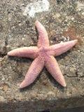 桃红色橙色紫色苍白海星向码头布赖顿扔石头 免版税图库摄影