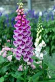 桃红色毛地黄属植物花在庭院里 库存照片