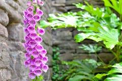 桃红色毛地黄属植物花在村庄庭院里 库存照片